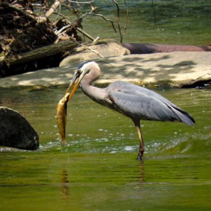 (Mindy Houser)-[Heron in Montour Run by Forest Grove Sportsman Club